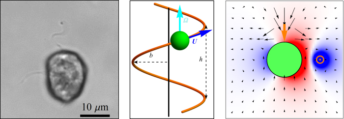 Individual of the flagellate species Heterosigma akashiwo (left), helical trajectory of a model flagellate (middle), and velocity field for the theoretical model of H. akashiwo (right).